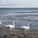 Three swans swimming on the sea